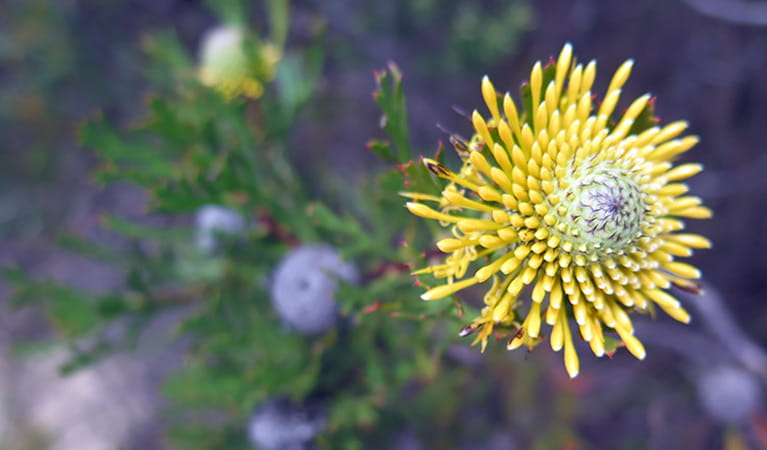 Yellow flower of the drumstick shrub, Mount Banks summit walk, Blue Mountains National Park. Photo: E Sheargold/OEH.