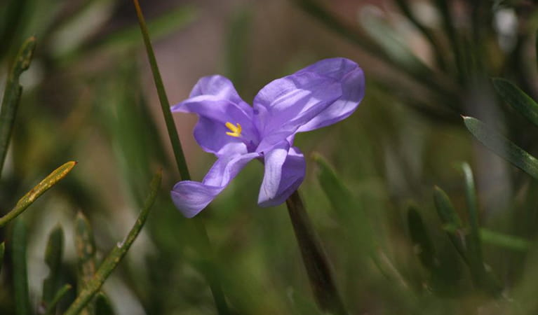 The purple-blue flower of a native iris, Blue Mountains National Park. Photo: E Sheargold/OEH