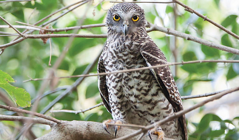 Powerful owl, Australia's largest forest owl. Photo: Rosie Nicolai/OEH