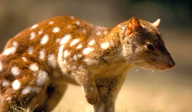 Spotted-tailed quoll. Photo: John Turbill/OEH