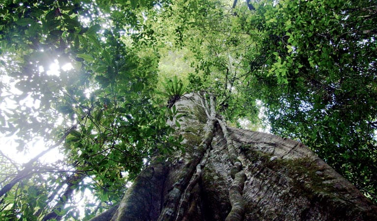 Boorganna Nature Reserve, rainforest canopy . Photo: L Feltus/NSW Government