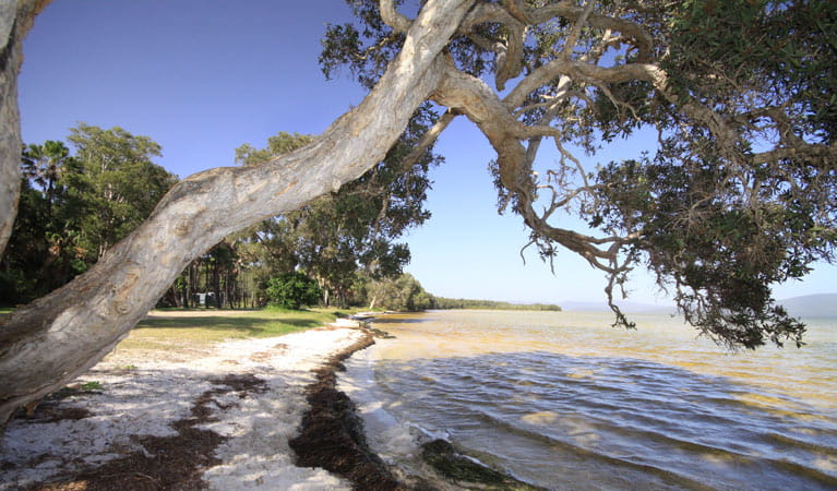 A tree hangs over the foreshore of Wallis Lake at Sailing Club picnic area, Booti Booti National Park. Photo: OEH