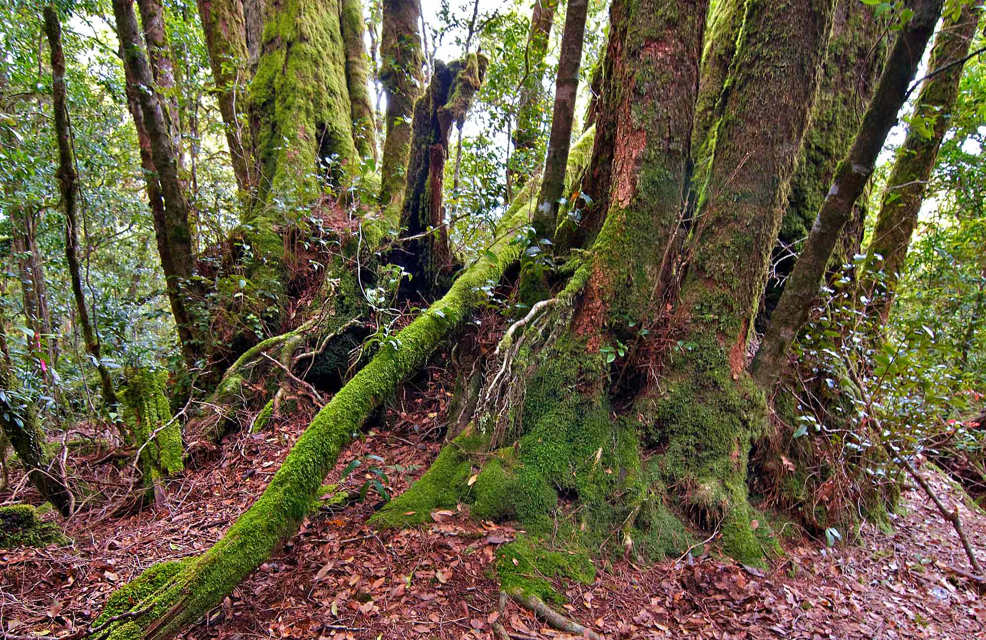 Moss covered trees in Border Ranges National Park. Photo credit : John Spencer © DPIE