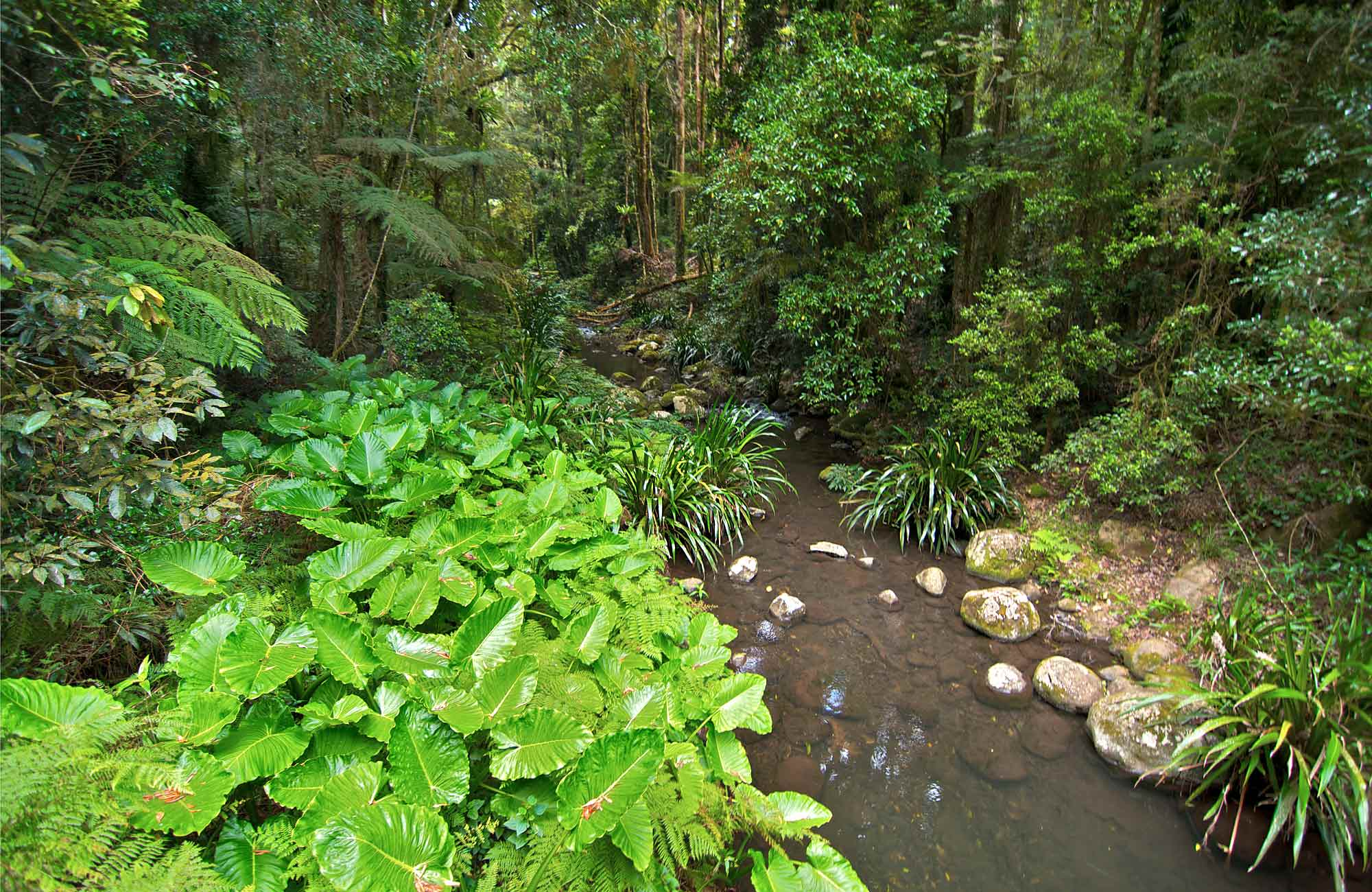 Brindle Creek runs through rainforest in Border Ranges National Park. Photo credit: John Spencer © DPIE