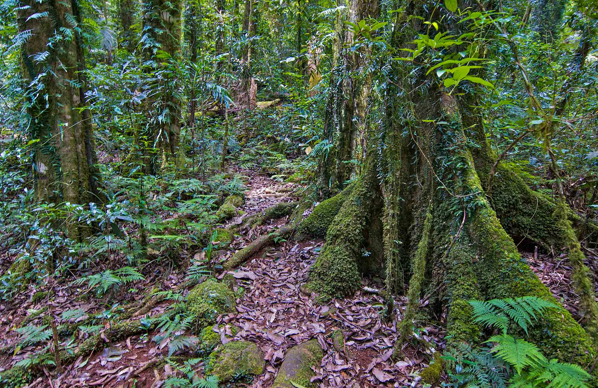 Rainforest along Helmholtzia loop walking track, Border Ranges National Park. Photo credit: John Spencer © DPIE