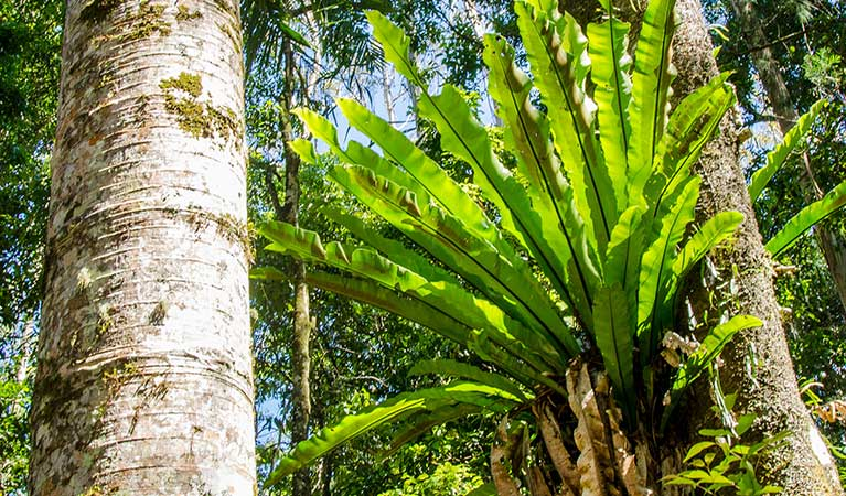 A birds nest fern grows on a tree, Border Ranges National Park. Photo credit: John Spencer © DPIE
