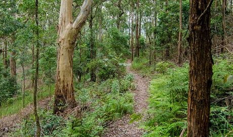 Border Loop walking track heads through rainforest in Border Ranges National Park. Photo credit: John Spencer © DPIE