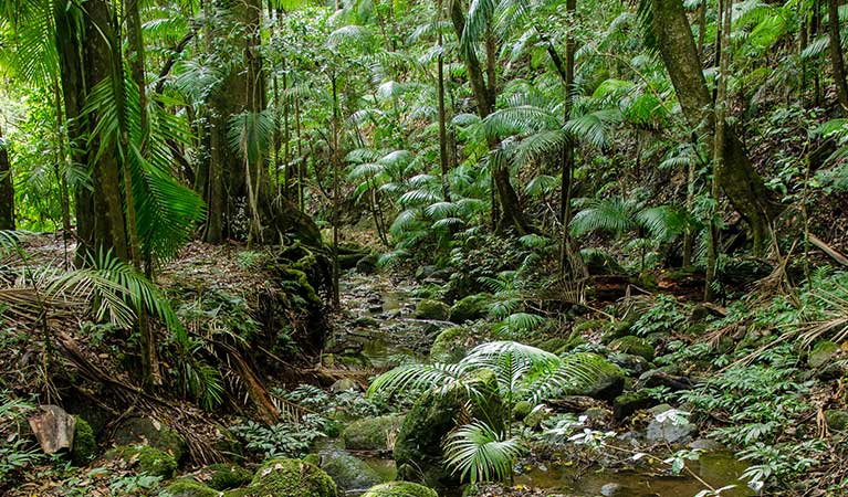 Rainforest scenery along Palm Forest walk to Brushbox Falls, Border Ranges National Park. Photo credit: John Spencer © DPIE