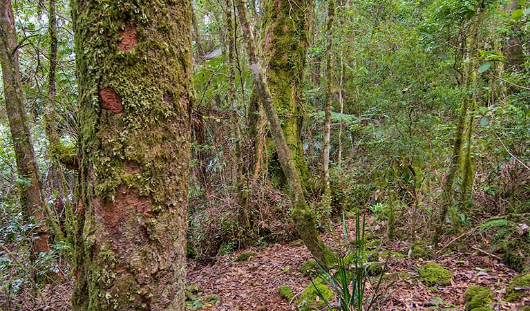 Moss-covered trees along Falcorostrum loop walking track, Border Ranges National Park. Photo credit: John Spencer © DPIE