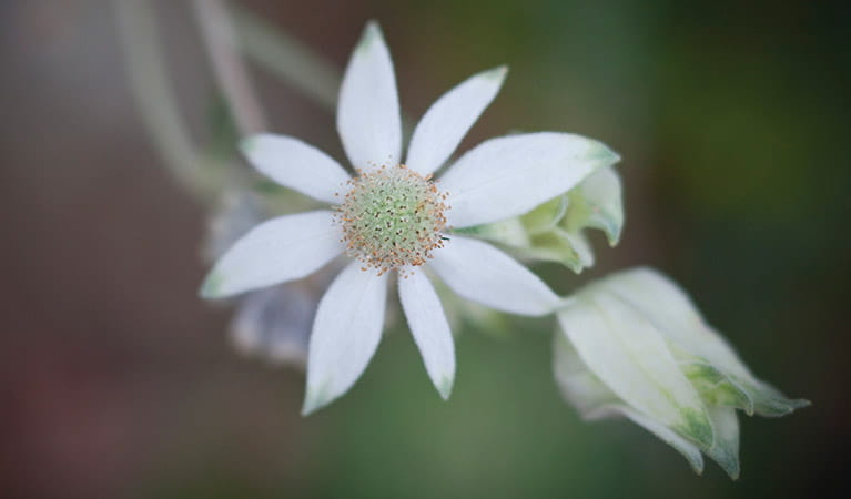 Closeup of a flannel flower in Bouddi National Park. Photo credit: Nick Cubbin. <HTML>&copy; DPIE