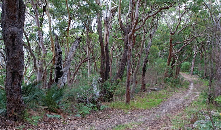 Trees along the Strom loop track. Bouddi National Park. Photo: Nick Cubbin/OEH