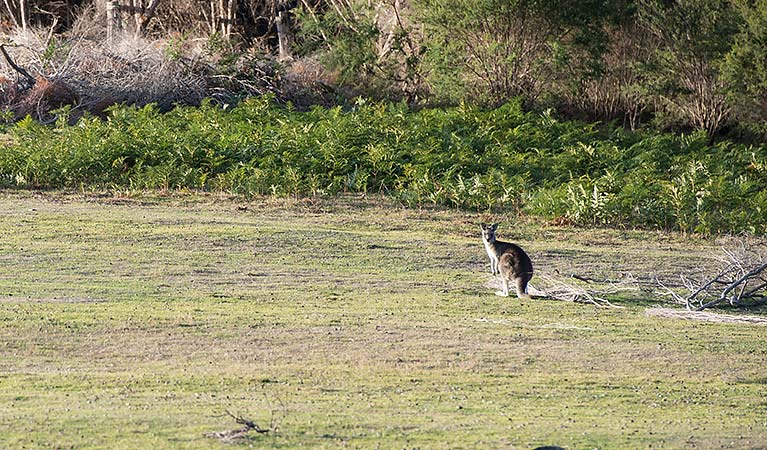 Kangaroo on the grass at Turingal Head picnic area in Bournda National Park. Photo: John Spencer/DPIE