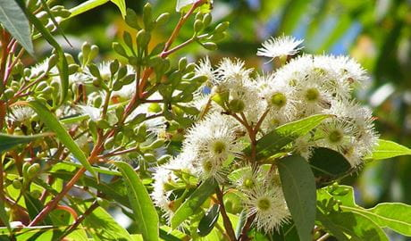 Red Bloodwood flower, Broadwater National Park. Photo: L Dargin