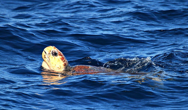 Green turtle (Chelonia mydas) swimming. Photo credit: Wayne Reynolds © Wayne Reynolds
