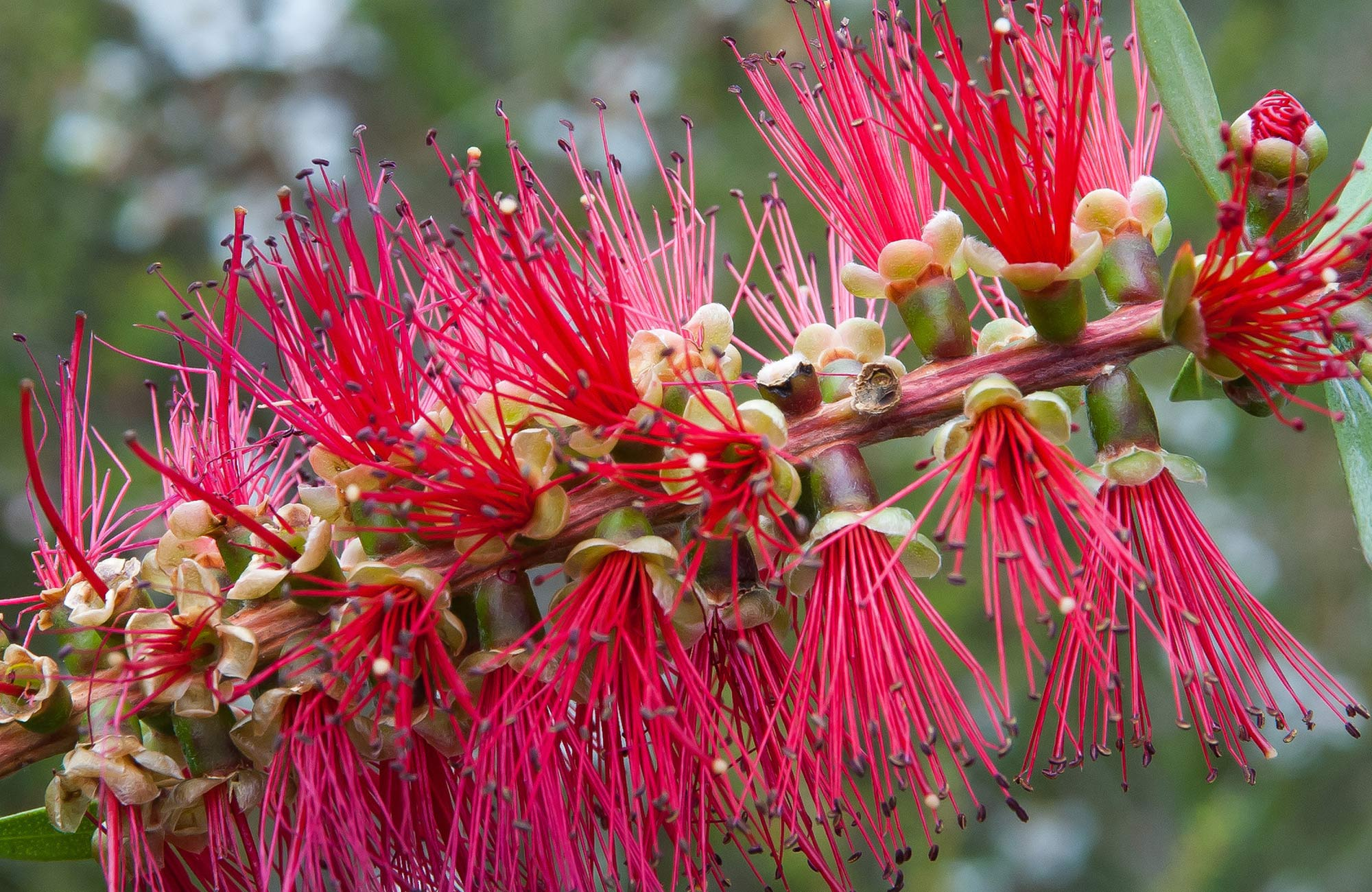 Red bottlebrush flower in Budderoo National Park. Photo credit: Michael Van Ewijk © DPIE