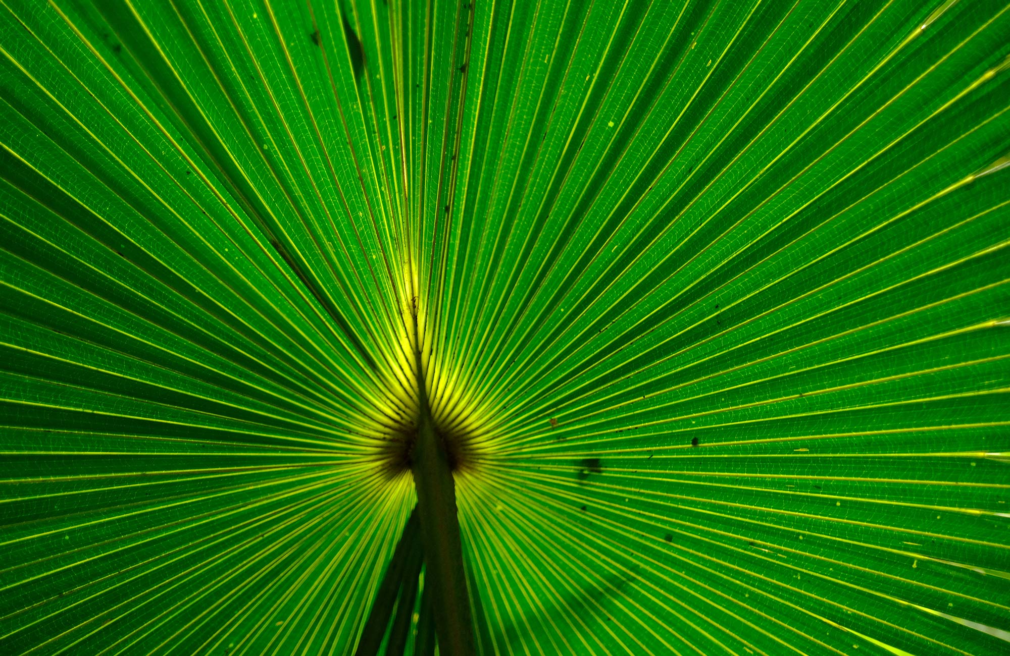 Close-up image of a cabbage palm leaf, Budderoo National Park. Photo credit: Elinor Sheargold © DPIE