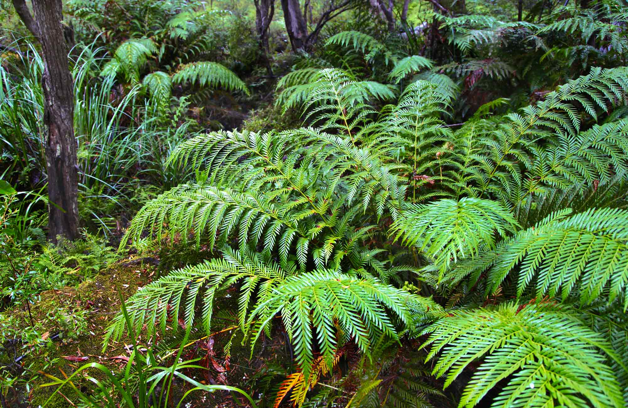 Tree ferns near Nellies Glen picnic area, Budderoo National Park. Photo credit: Andrew Richards © Andrew Richards