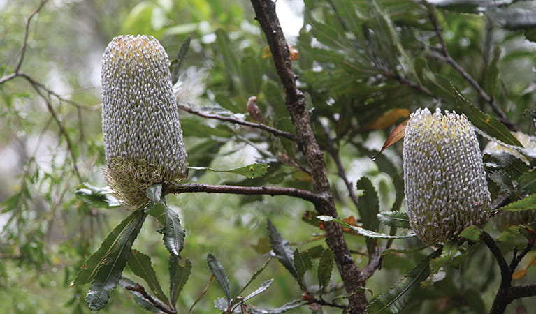 Banksia flowers in Budderoo National Park. Photo  credit: Andrew Richards © Andrew Richards