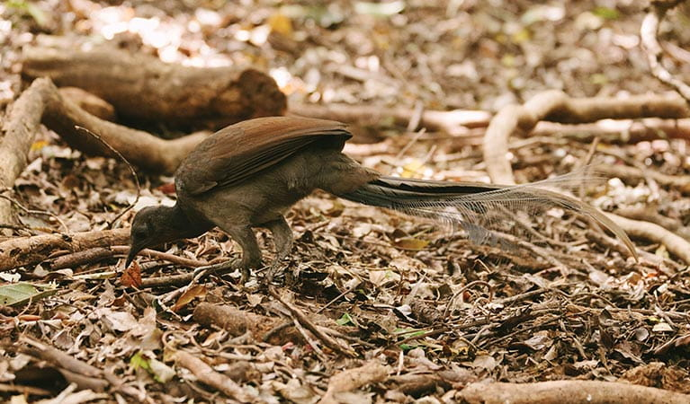 A superb lyrebird in Budderoo National Park. Photo credit: David Finnegan © DPIE
