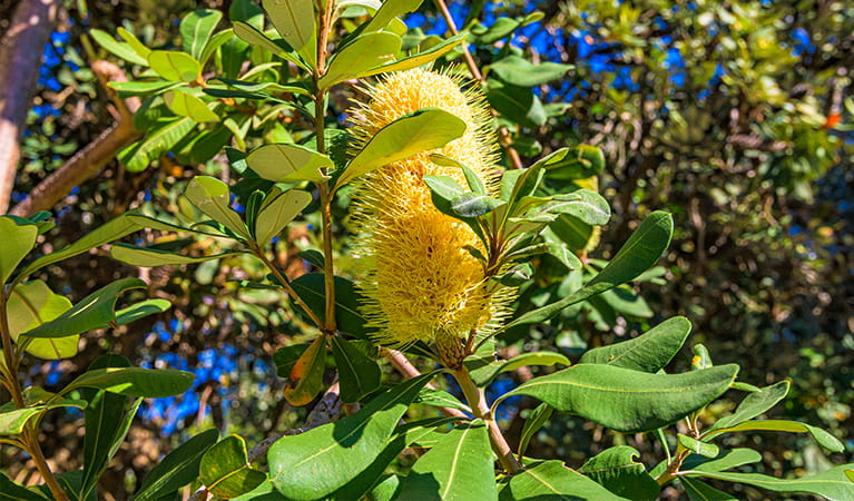Close-up of coastal vegetation, including yellow banksia flower. Photo: Jessica Robertson/OEH.