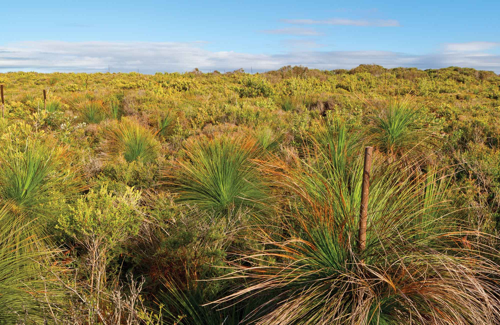 A field of grass trees. Photo: Rob Cleary