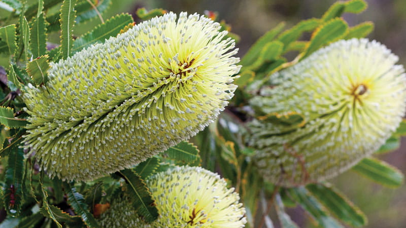 Banksia flowers. Photo: Rob Cleary