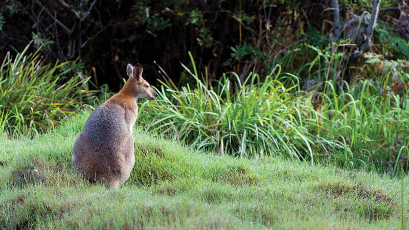 Red-necked wallaby. Photo: Rob Cleary