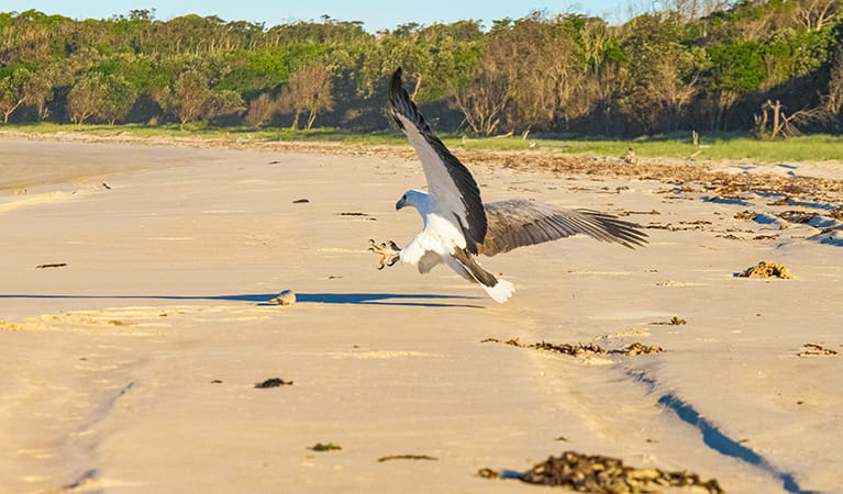 Sea eagle swooping to catch prey on Shark Bay beach. Photo: Jessica Robertson/OEH.