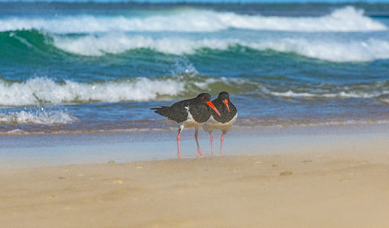 2 pied oystercatchers stand near the surf on Shark Bay beach. Photo: Jessica Robertson/OEH.