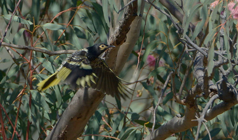 A regent honeyeater bird in flies past a gum tree. Photo: Bruce Thompson/OEH