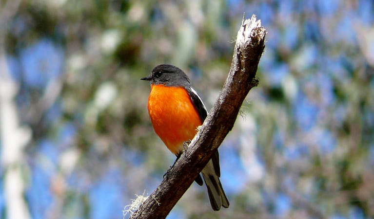 A flame robin, seen birdwatching in Cathedral Rock National Park. Photo: A Ingarfield