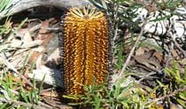 An amber bottlebrush, seen at Woolpack Rocks in Cathedral Rock National Park. Photo: B Webster