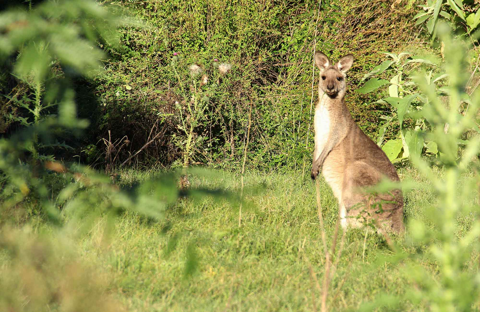Kangaroo. Photo: John Yurasek