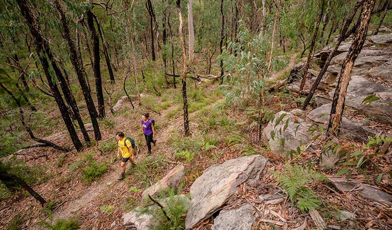 A man and woman walk through open forest of yellow bloodwood trees, Mitchell Park area, Cattai National Park.  Photo: John Spencer/OEH.
