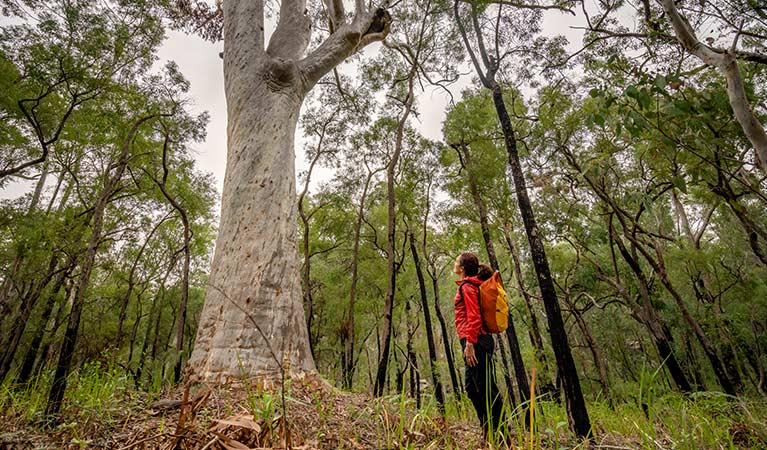 A woman looks up at a huge scribbly gum tree on one of the Mitchell Park walking tracks, Cattai National Park. Photo: John Spencer/OEH.