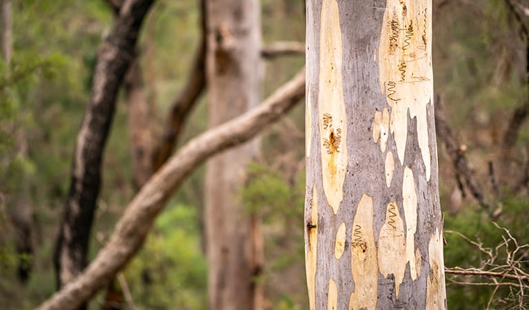 Close up of scribbly gum eucalypt tree with markings of scribbly gum moths, in Cattai National Park. Photo: John Spencer/OEH.