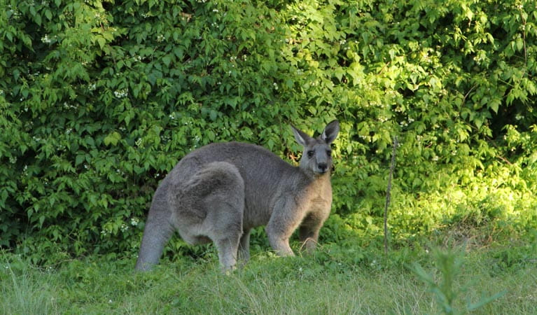 Eastern grey kangaroo. Photo: John Yurasek/OEH