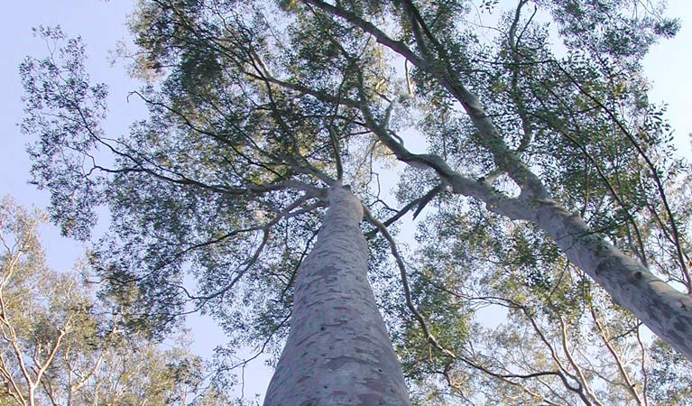Spotted gum, Chaelundi National Park. Photo: A Harber/NSW Government