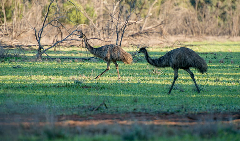 Emus in Cocoparra National Park. Photo: John Spencer/DPIE