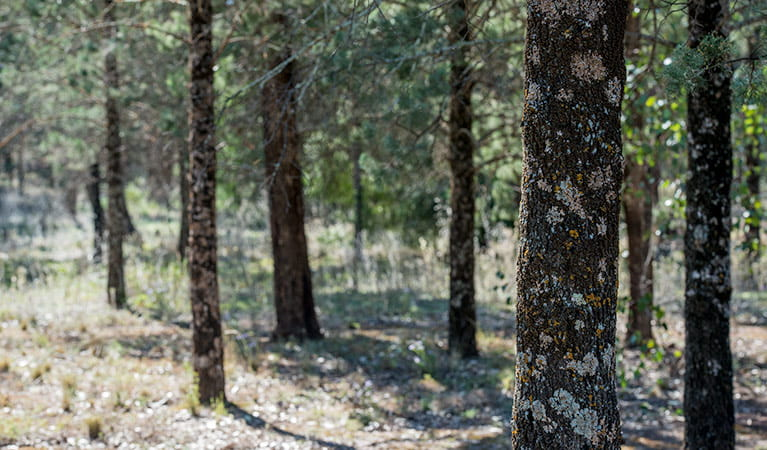 Cypress pine woodland in Cocoparra National Park. Photo: John Spencer/DPIE