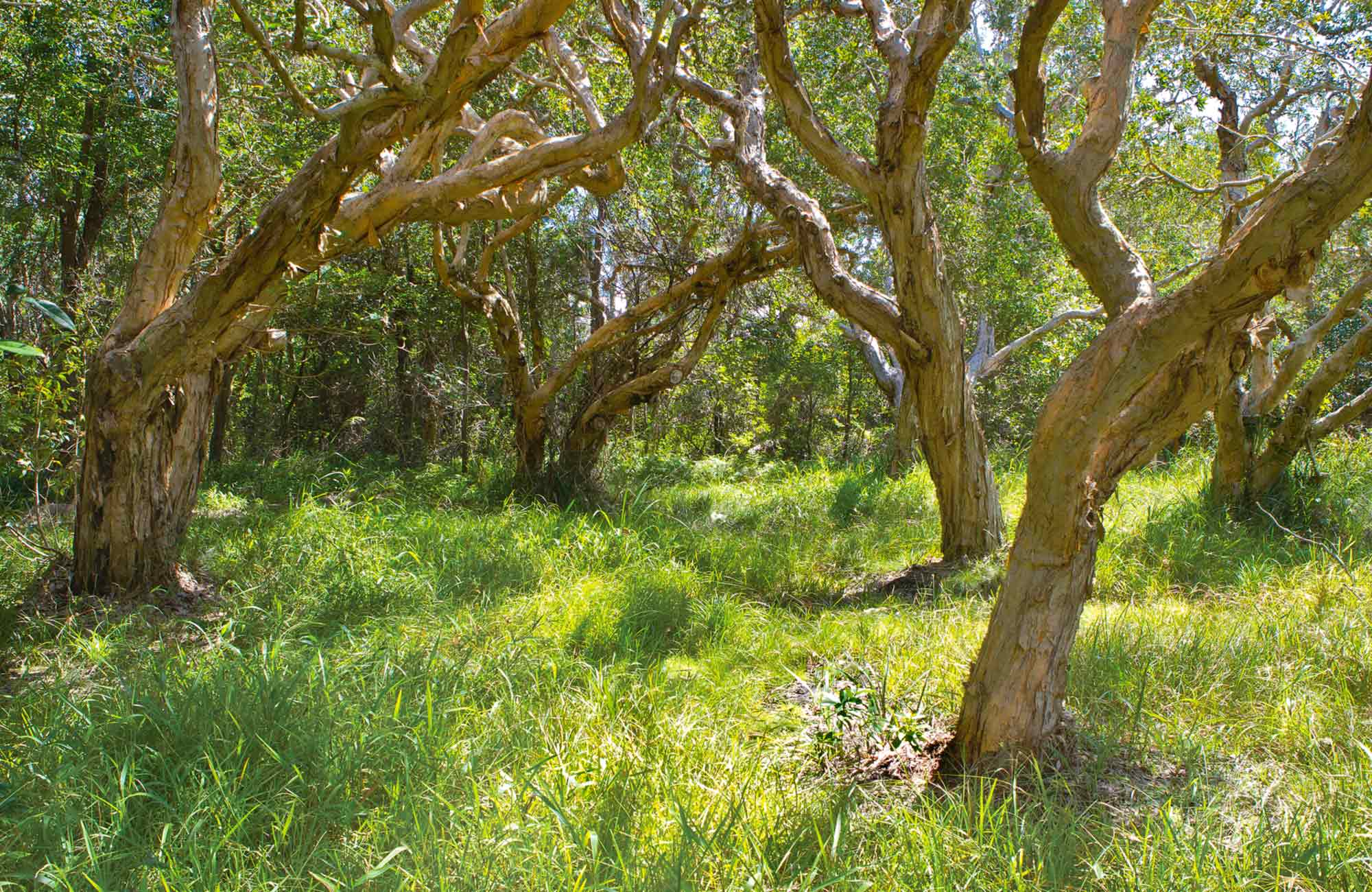 Paperbark trees. Photo: Rob Cleary
