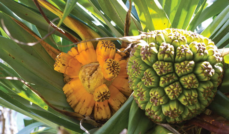 Pandanus fruit. Photo: Rob Cleary