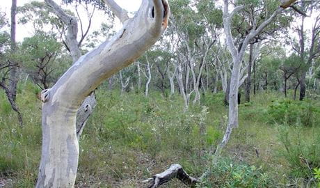 Scribbly gums, Conjola National Park. Photo: Libby Shields