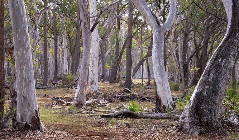 Forest path through pine and eucalpytus gum tree forest. Photo: Barry Collier © Barry Collier