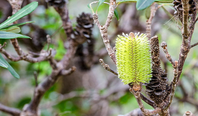 Banksia and spent seed heads in Crowdy Bay National Park. Photo: John Spencer © DPIE