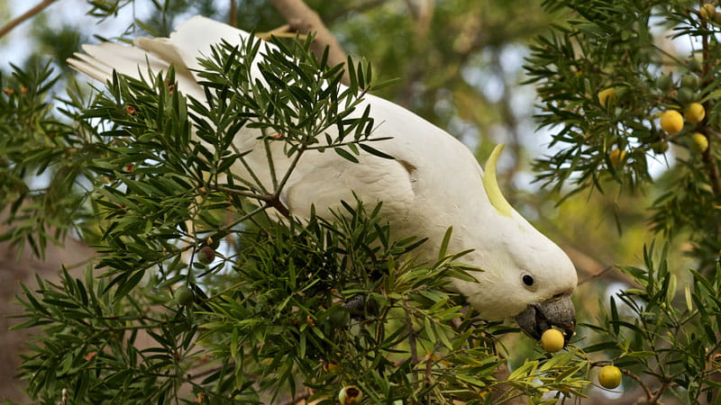 Sulfur crested cockatoo. Photo: Stuart Cohen