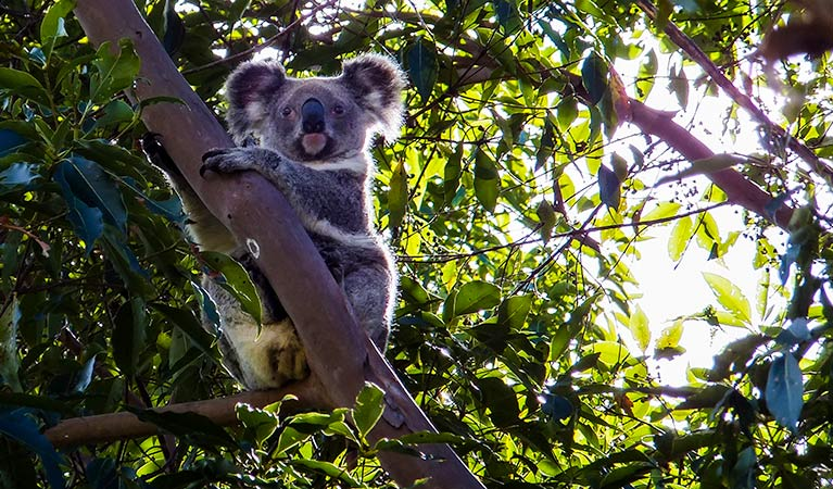 Cudgen Nature Reserve, koala. Photo: Alan Goodwin/NSW Government