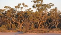 Culgoa National Park, gidgee trees. Photo: NSW Government