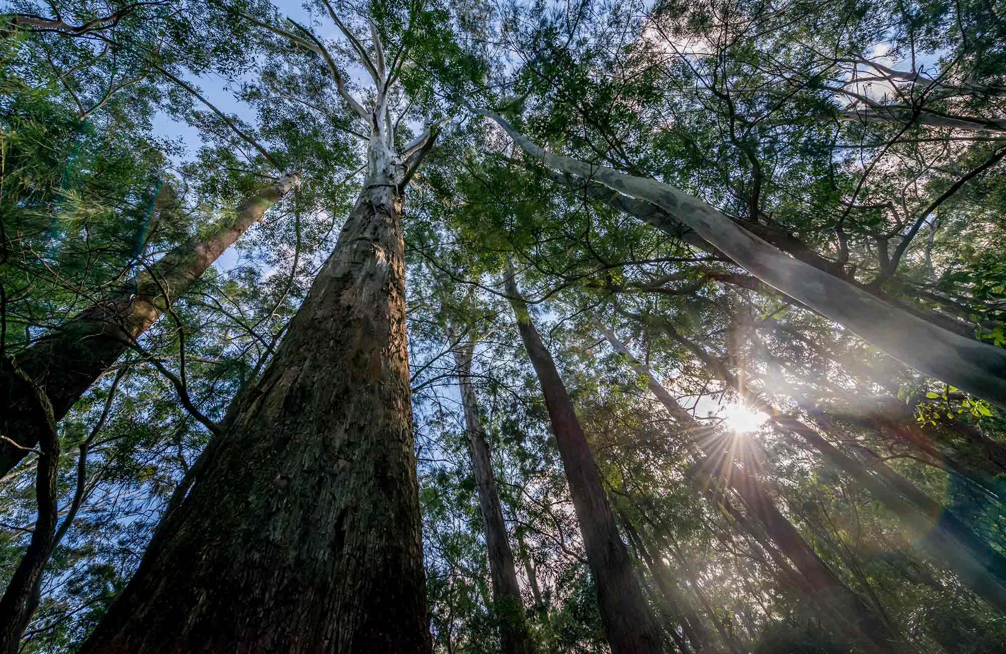 Towering trees, Dalrymple-Hay Nature Reserve. Photo: John Spencer