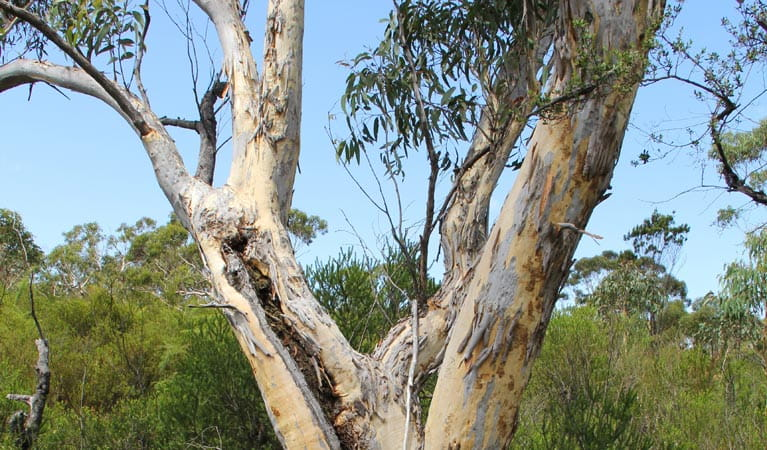 Gum tree. Photo: John Yurasek